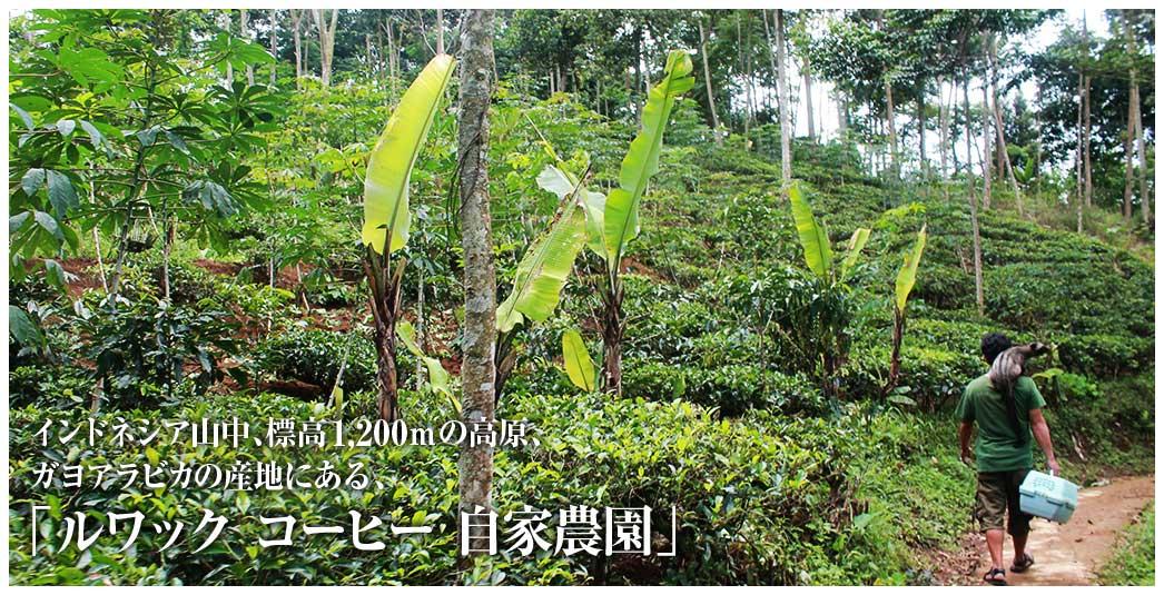 インドネシア山中、標高1,200mの高原、 ガヨアラビカの産地にある、「ルワックコーヒー 自家農園」