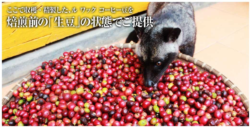 ここで収穫・精製した、ルワック コーヒー豆を焙煎前の「生豆」の状態でご提供